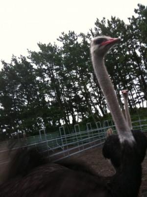 photo:Ostrich ranch !