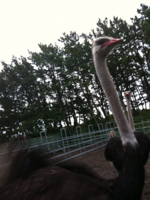 photo:Ostrich ranch !